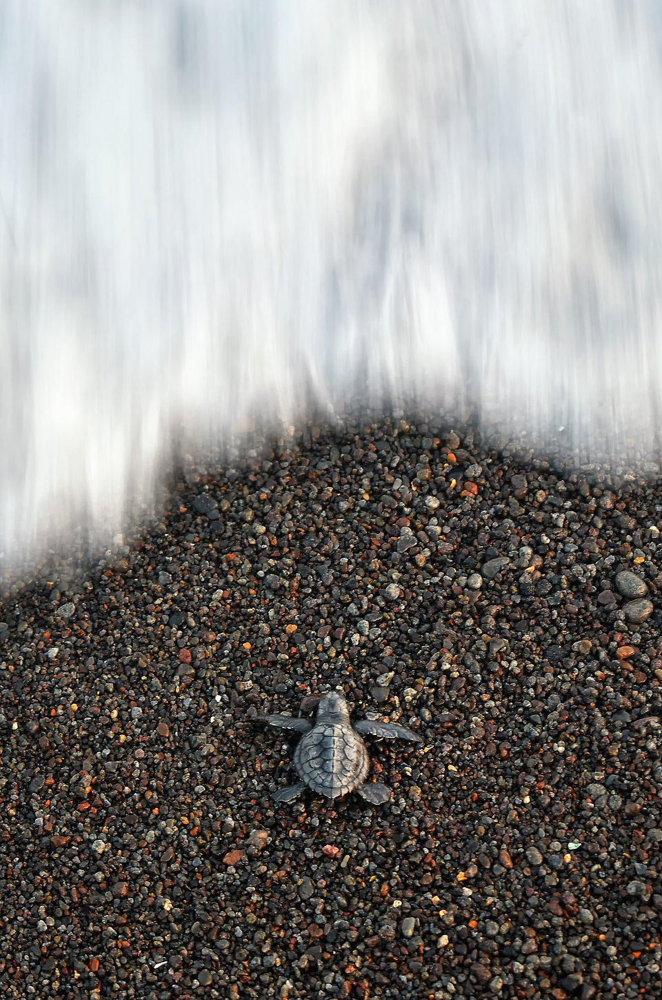 new born turtle trying to get to the sea in Indonesia