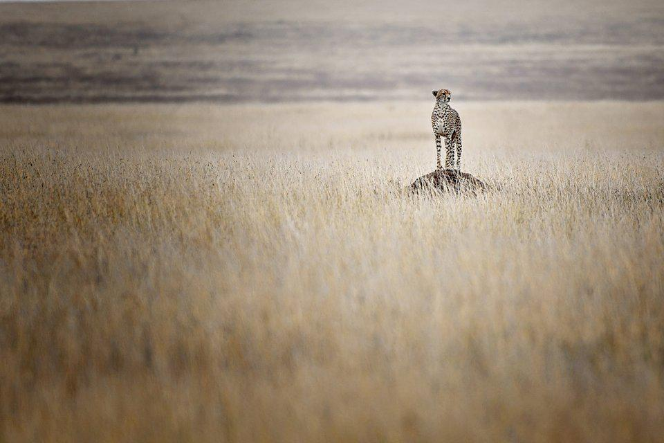 A cheetah looking for food in the Serengeti.