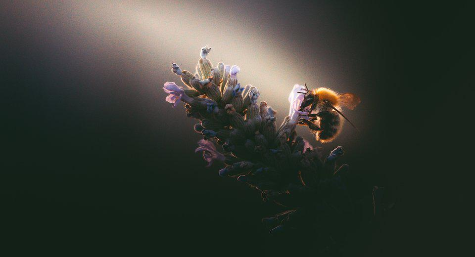 Small bee in lavender flower