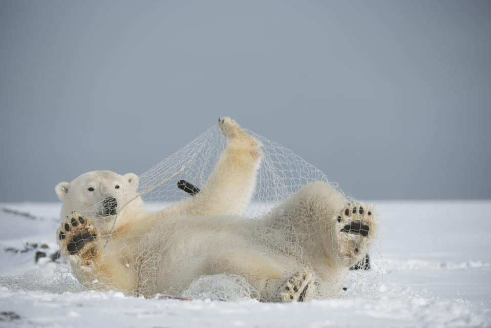 Polar bear with fishing net in Alaska.  The Arctic is experiencing a historical heatwave and loss of sea ice that polar bears depend on.  Humans are now encroaching further into the Artic wilderness.