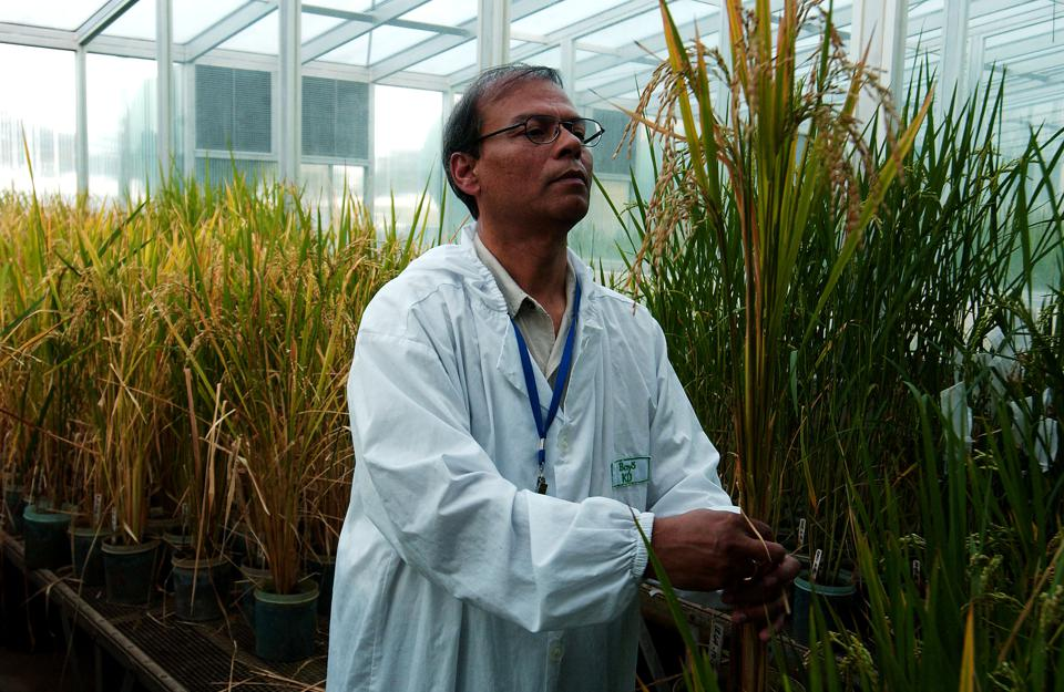 Genetically modified golden rice produced at the IRRI in the Philippines.