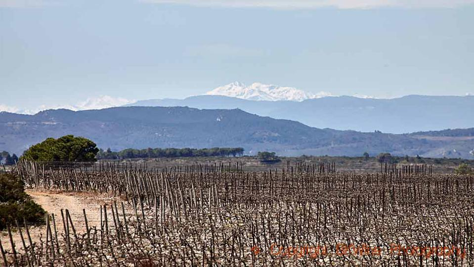 Vineyards in La Clape in Languedoc with a view over the Pyrenees Mountains