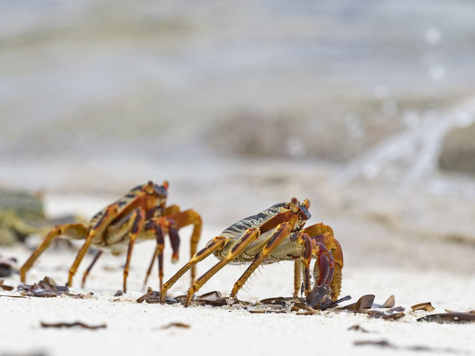 Unique beach life of the Seychelles being impacted by climate change.  Seen here: Natal Lightfoot Crab, Grapsus tenuicrustatus, wizard Island, Cosmoledo Atoll, Seychelles.