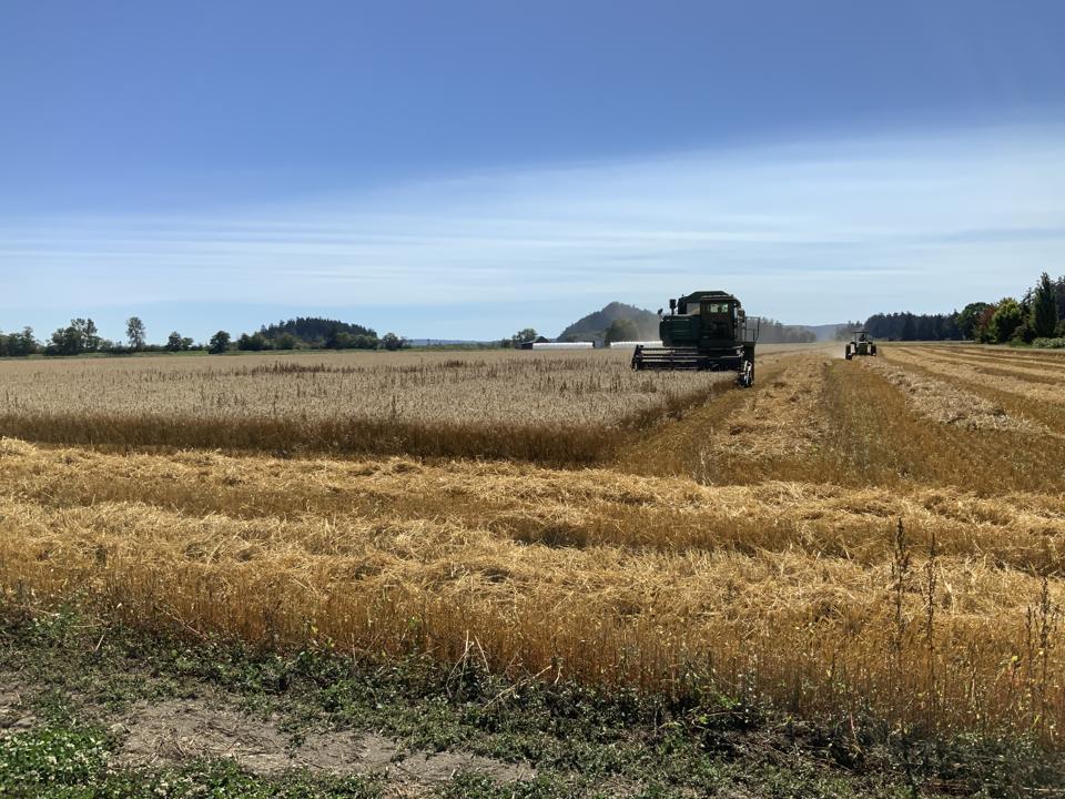 Hedlin Farms Wheat Harvest
