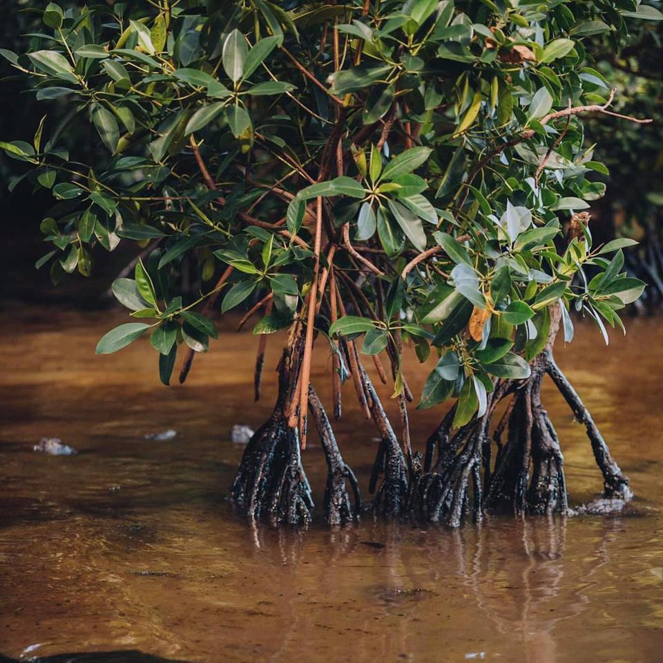 There are fears for the long term consequences of the internationally protected mangrove forests as the toxic oil seeps up the roots of the trees