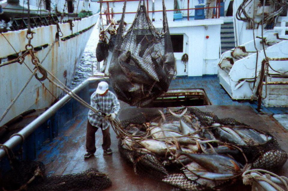 Industrial levels of tuna are caught using two types of techniques - fishing nets or purse seiners - and hooks or long liners