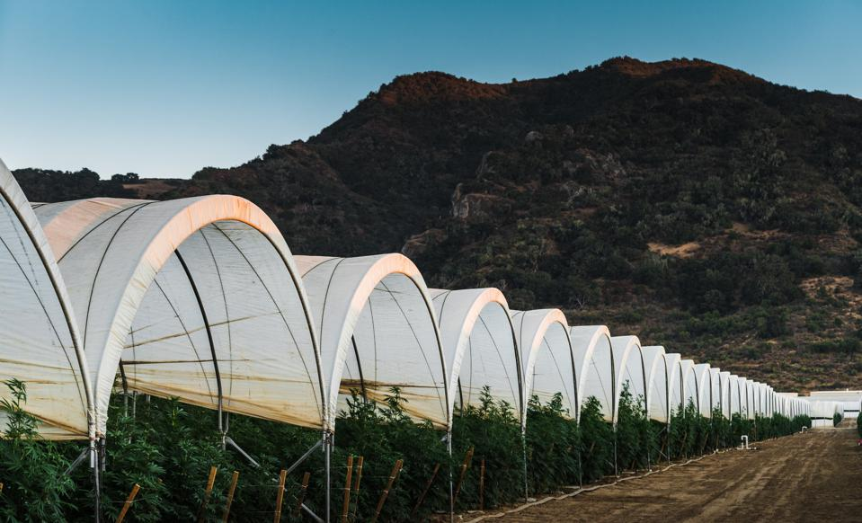 The grow at Raw Garden, a California cultivator that has brought over 2,000 unique strains to market in its concentrates line.