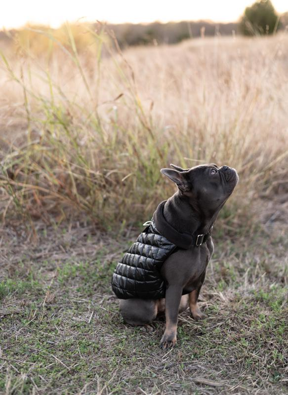 Jimi the French Bulldog wearing K9Wear's Quilted Puffer Jacket and Hybrid Harness