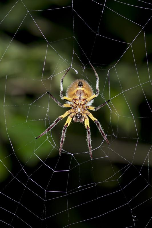 Orb-weaver spider -Araneidae- in warning coloration sitting in the center of a web, Tiputini, rainforest, Yasuni National Park, Ecuador, South America