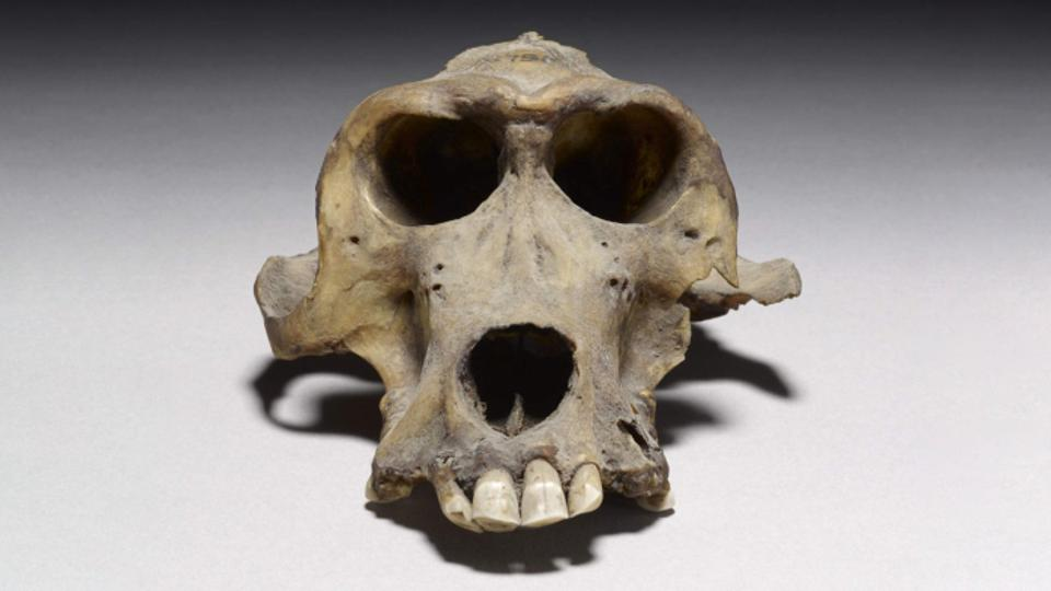 A 3300-year-old baboon skull thought to have come from Punt.