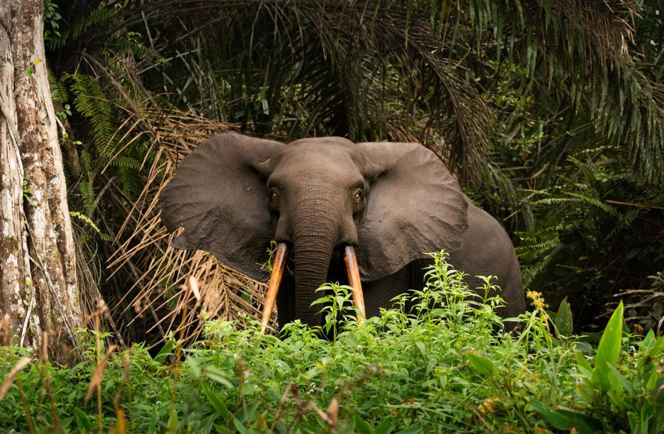 African Forest Elephant Loxodonta In Loango National Park In Gabon