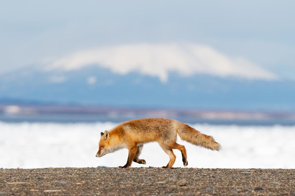 Hokkaido Red fox 6 travel destinations to add to your list 2021