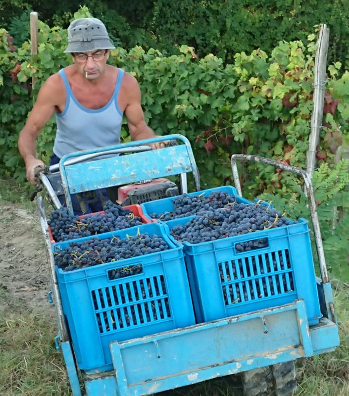 Michele Avezza's father pushes a cart loaded with grapes in the vineyard.