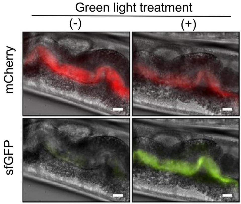 Light-responsive bacteria inside a worm's gut.