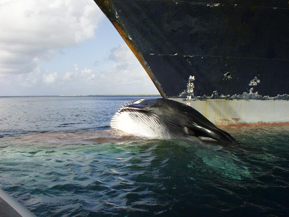 Global shipping present a major threat to whales with sound pollution and whale strikes around sensitive breeding zones