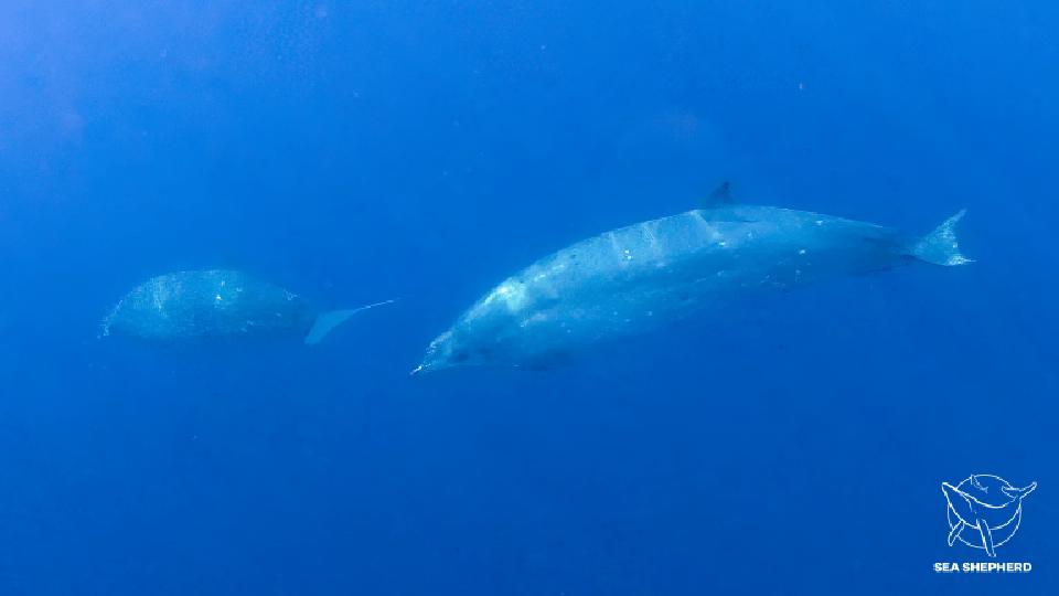 Photo of the possible new species of Beaked Whale seen off the coast of Mexico and published by Ocean NGO Sea Shepherd on December 8