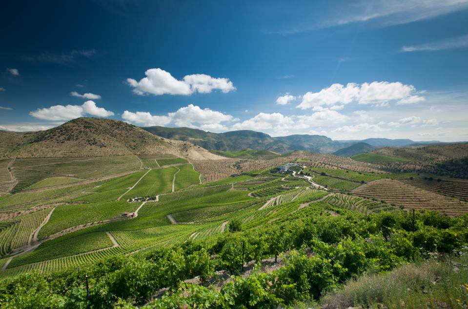 Rows of grapes in the Douro Valley of Portugal for port and wine