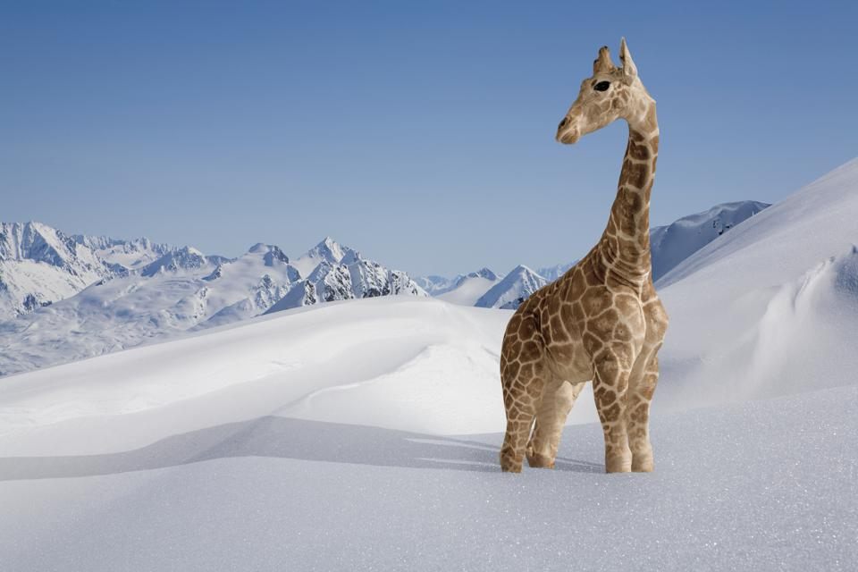 Giraffe stuck in the snow
