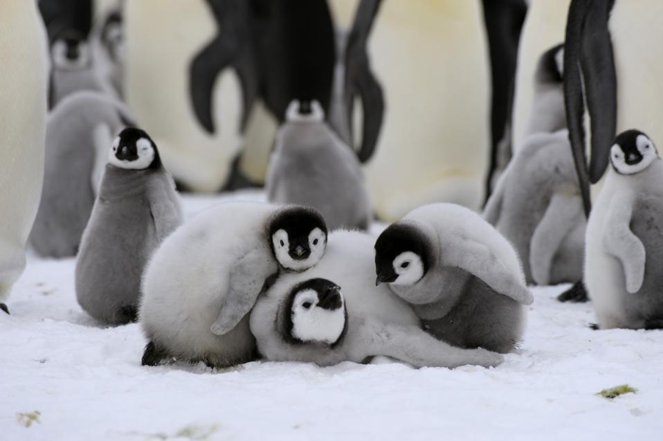 Antarctica, Weddell Sea, Snow Hill Island, Emperor Penguin...