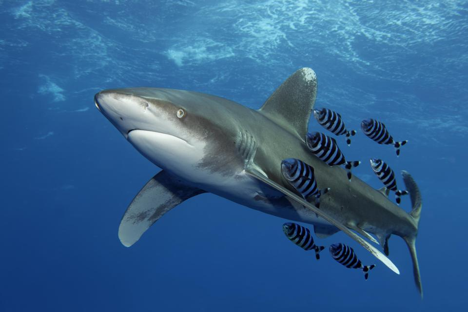Oceanic whitetip shark (Carcharhinus longimanus) with Pilot Fish (Naucrates ductor) swims under sea surface in the open sea, Red Sea, Egypt