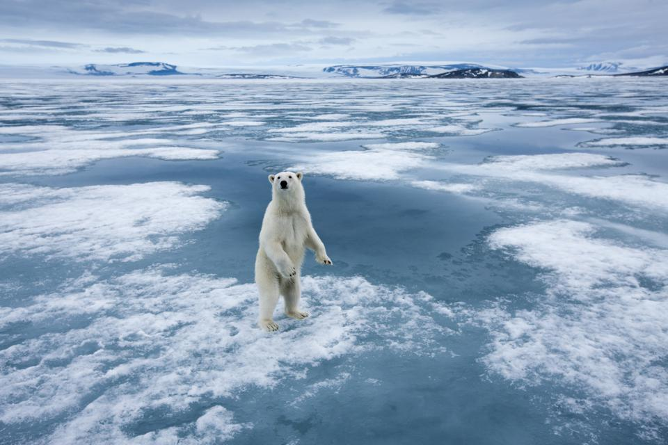 A polar bear standing upright on sea ice in the Arctic.