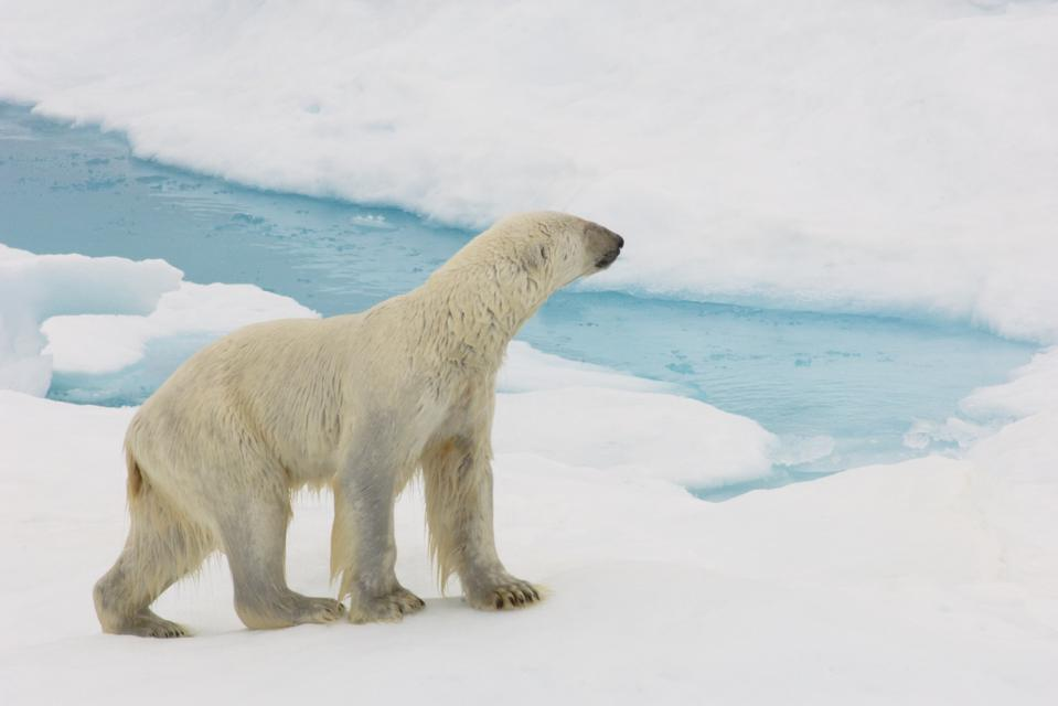 A think polar bear walking over sea ice in the Arctic.