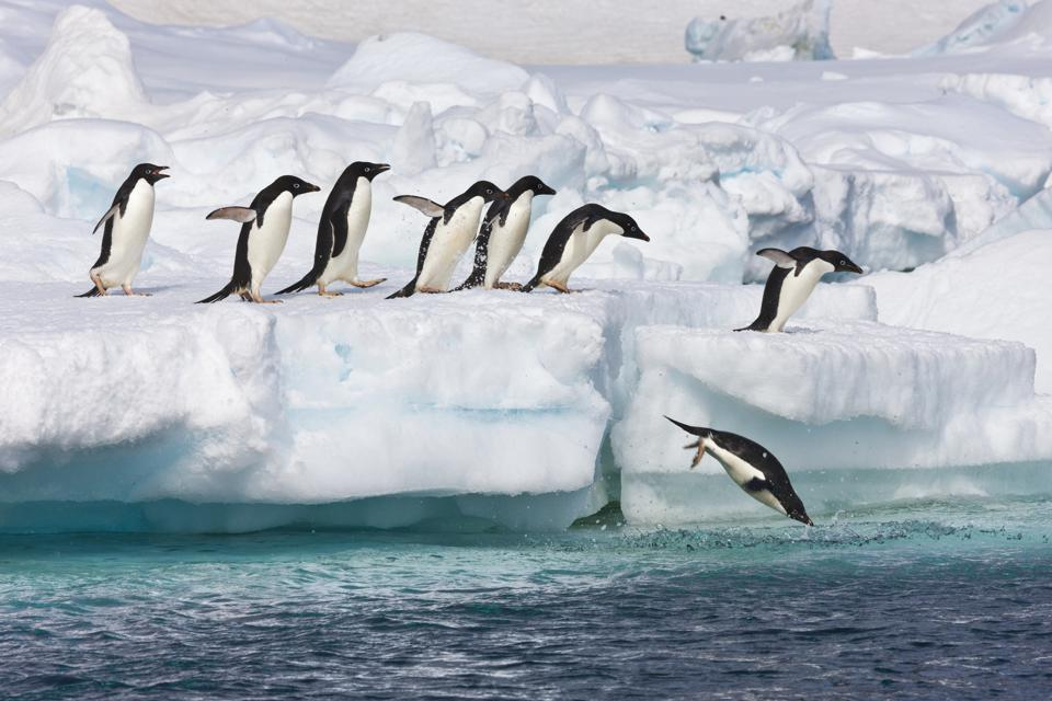 Adelie penguins jumping off of ice into Antarctica's Southern Ocean.