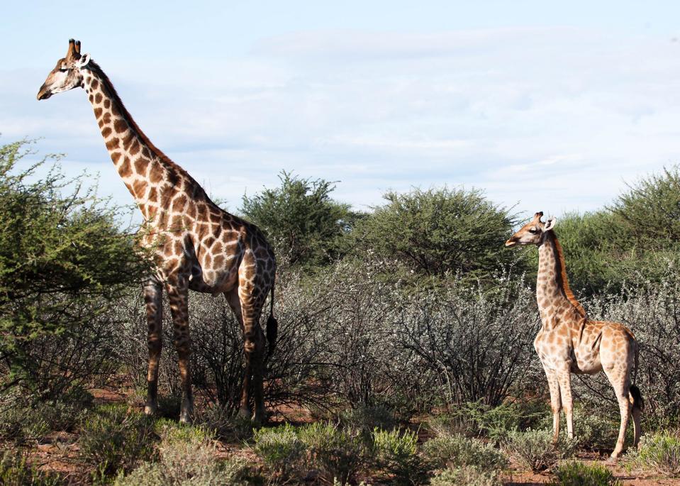 dwarf giraffe Emma Wells, Giraffe Conservation Fund
