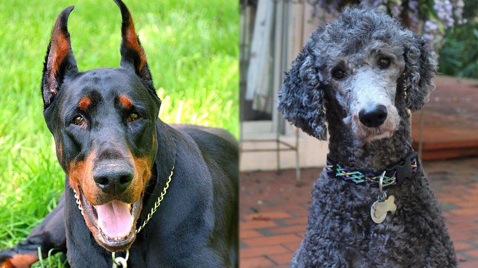 Doberman pinscher compared to a mixed poodle.