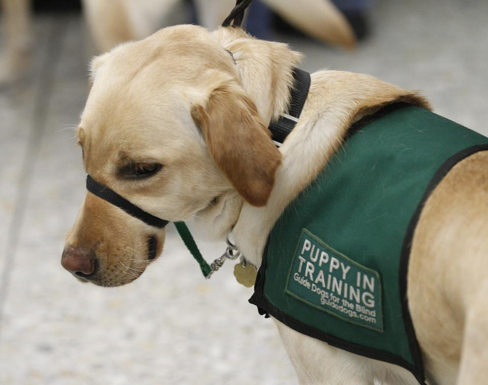 A guide dog puppy-in-training waits to check in at the Alaska Airlines ticket counter at the Oakland International Airport on Sunday, March 19, 2017, in Oakland, Calif.  About 25 guide dog puppies-in-training took part in a training event to prepare the d