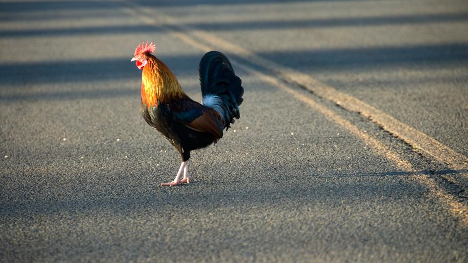 Chicken crossing the road 3
