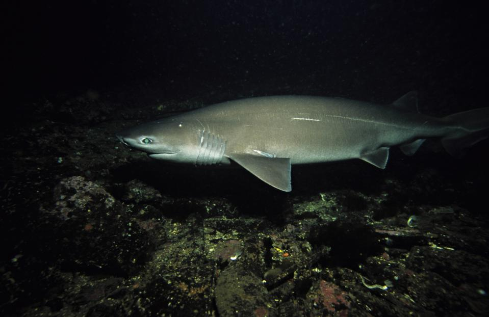 SIXGILL SHARK, HEXANCHUS GRISEUS, ON HIS SUMMER FIELD. VANCOUVER, BC, CANADA. (*) H