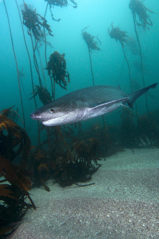 South Africa, Ocean, Broadnose sevengill shark, Notorynchus cepedianus