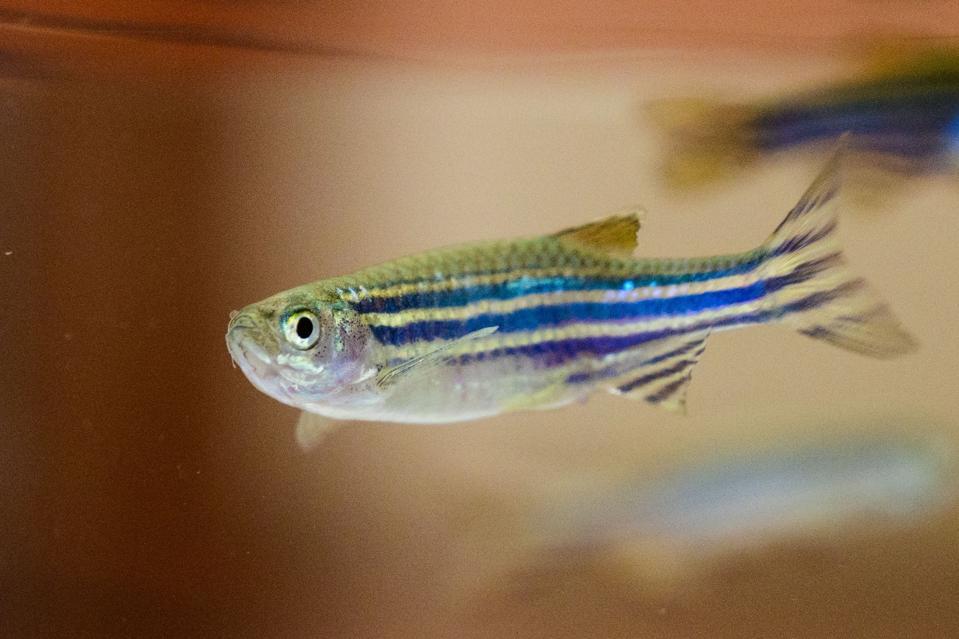 A zebrafish