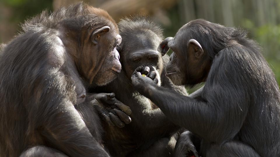 Three chimpanzees appear to have a meeting.