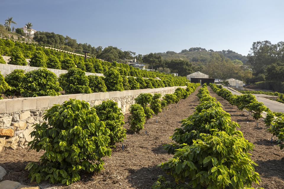 Rows of coffee bean plants fill the terraces on the 9.5 acres at Valley Heart Ranch.