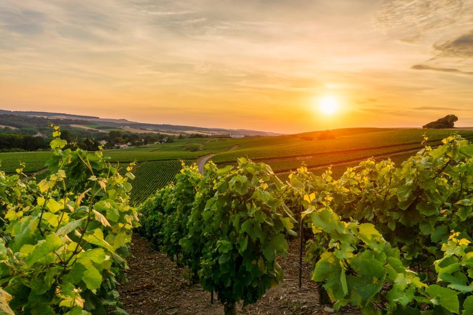 Row vine green grape in champagne vineyards at montagne de reims