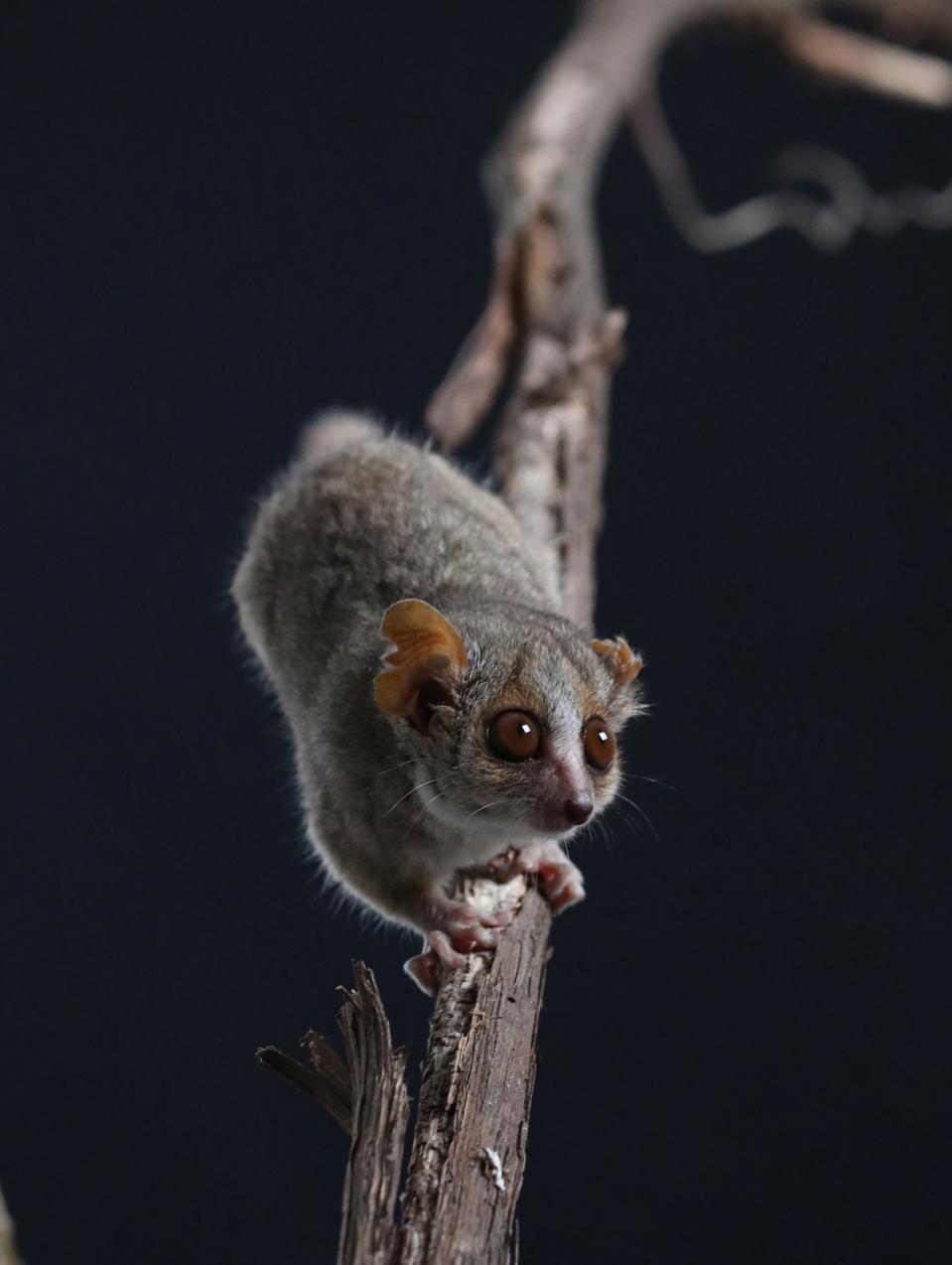 Gray mouse lemur.