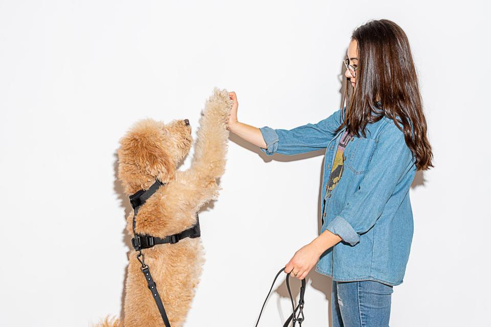 A dog standing on its hind legs and giving its owner a high five with its paw.