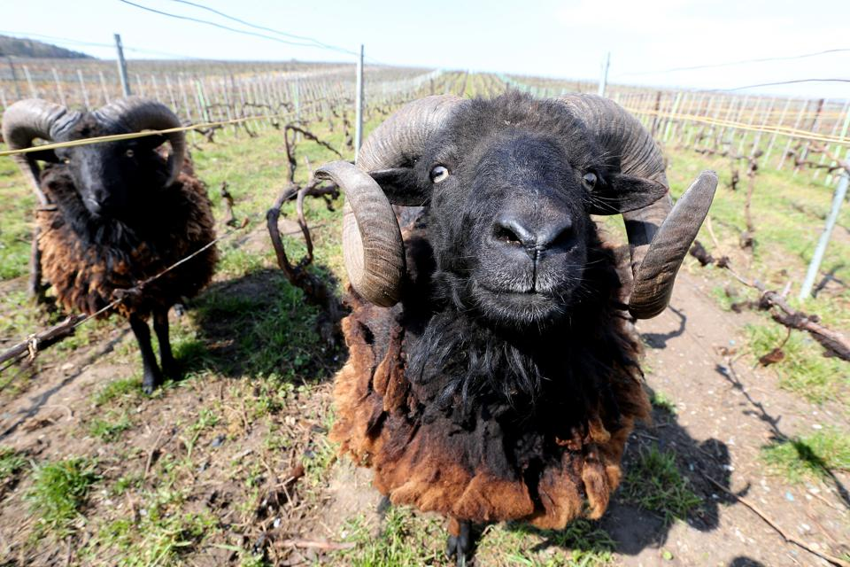 Sheep are increasingly being used to avoid pesticides in champagne production–these are in the Lacourte-Godbillon vineyards in Ecueil, near Champagne, France.