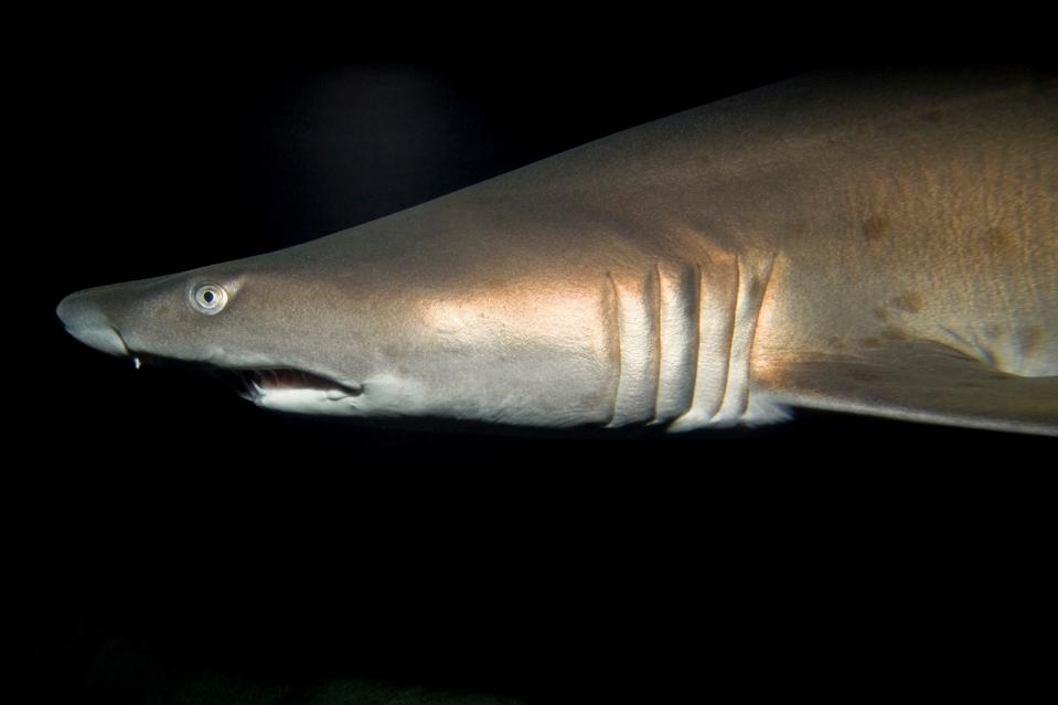 Grey nurse shark, Two Oceans Sea Aquarium, Victoria & Alfred Waterfront, Cape Town, South Africa, Africa