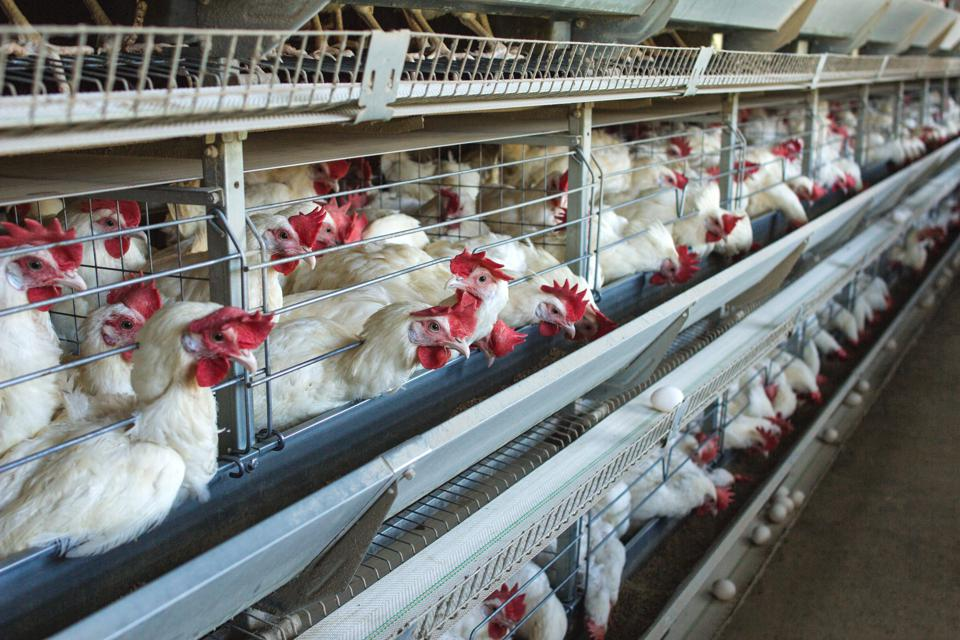 Modern chicken farm for the breeding of white chickens and eggs, multi-level conveyor, indoor, copy space
