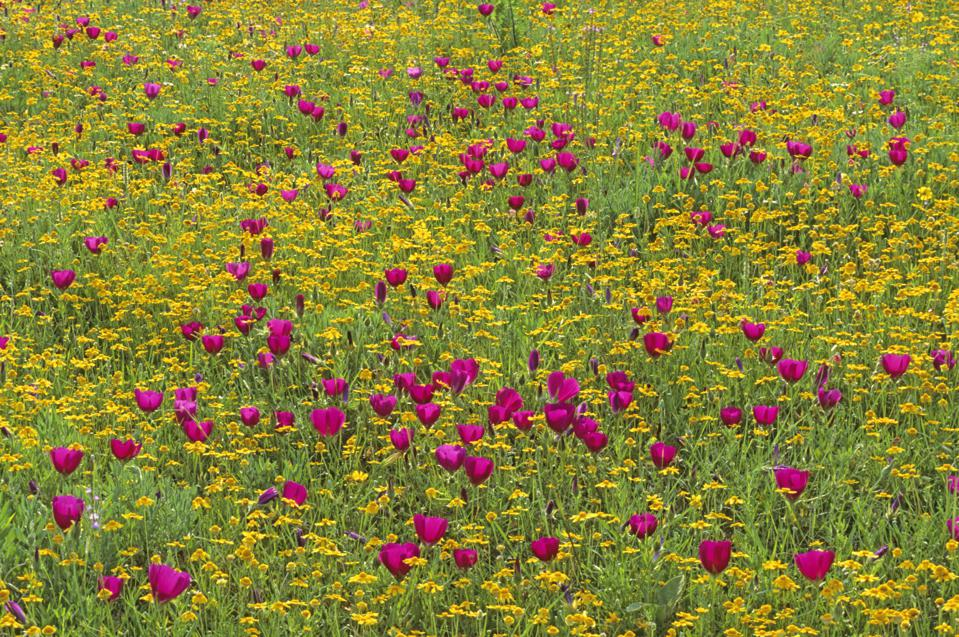 A Field of wildflowers in Texas Hill Country