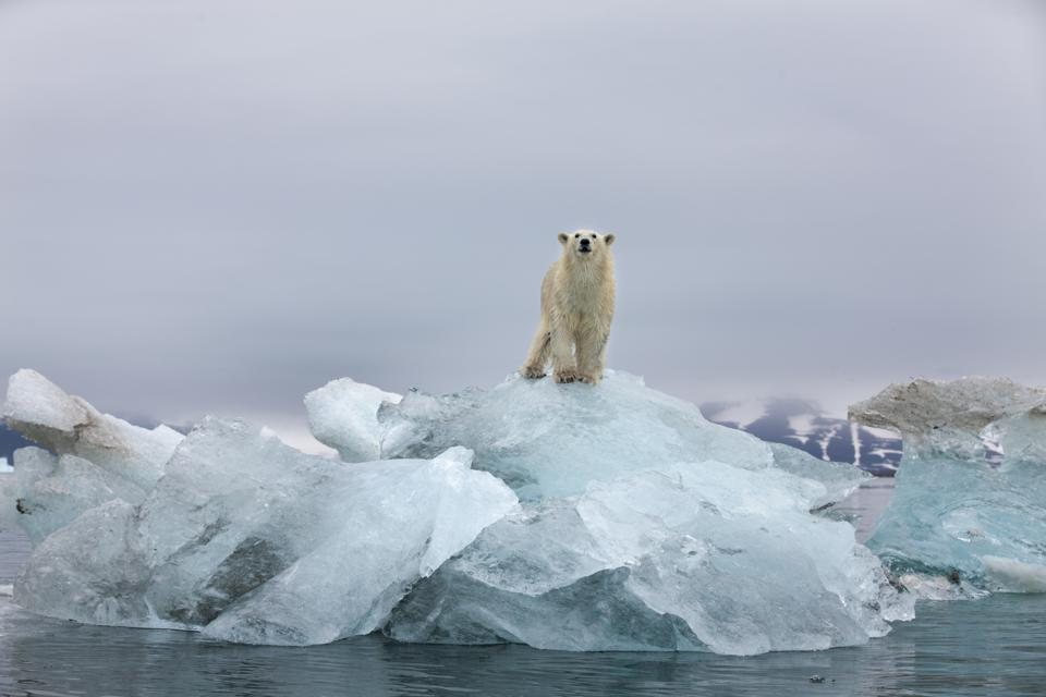 A polar bear stands on melting glacial iceberg in Svalbard, Norway