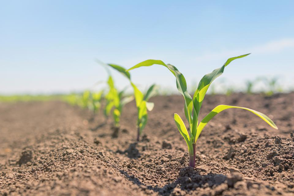 Young green corn growing in the field.