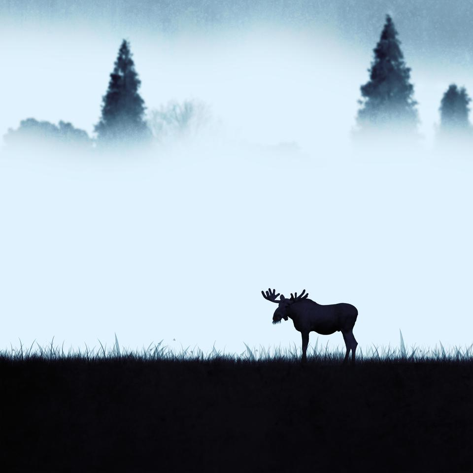 Lonely moose eating in the morning