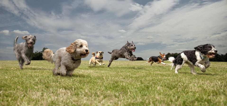 Dogs chasing each other in a park, left to right: Irish Wolfhound, Petit Basset Griffon Vendeen, Swedish Vallhund, Irish Wolfhound, Beagle, Spinone Italiano