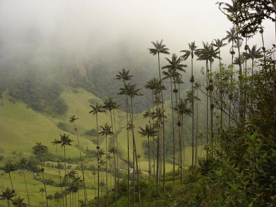 Ceroxylon quindiuense palm credit Diegotorquemada