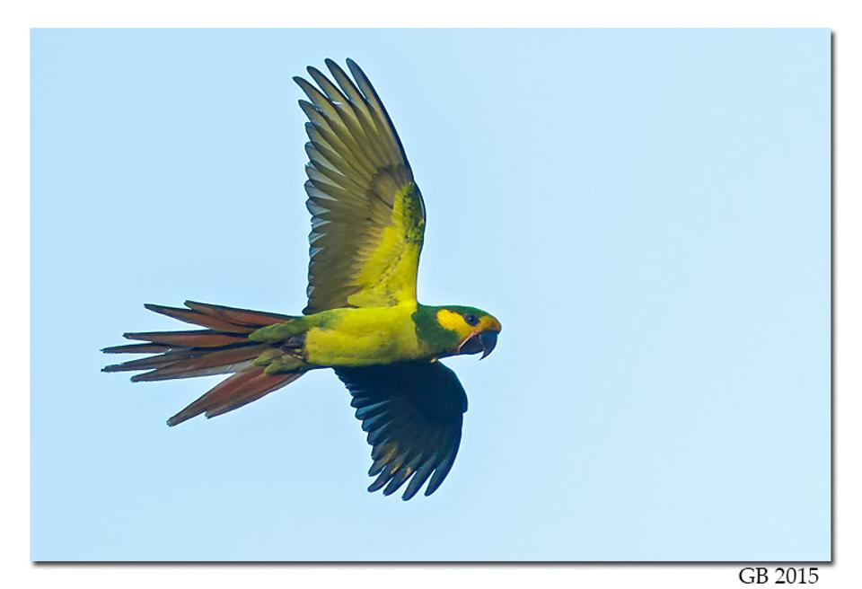 yellow-eared parrot credit glenn bartley