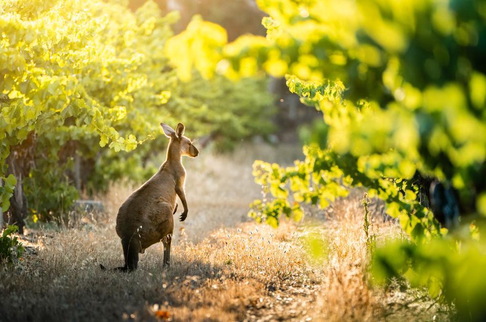 Kangaroo in Vineyard